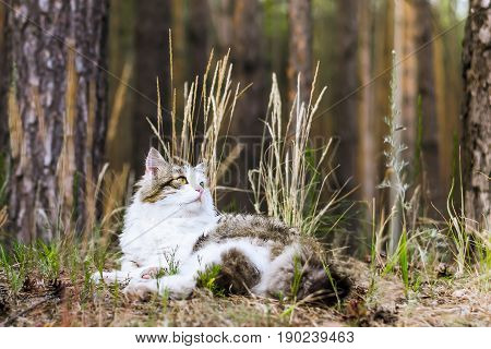 A big cat in the clearing in the forest against the background of grass leaves and tree trunks. Cat in the natural environment. Focus on the cat. The background is blurred.