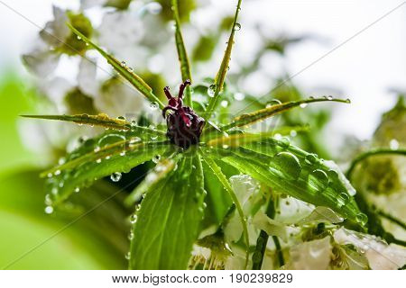 Forest grass with dark fruit in the middle of the green flower in the drops of rain, macro