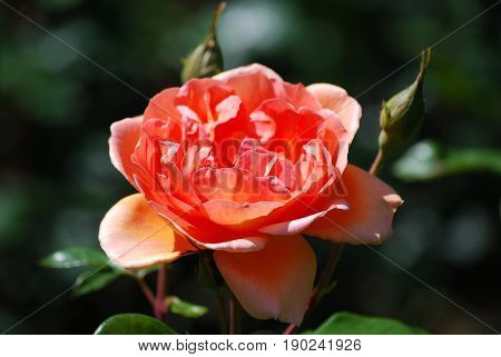 Garden with a single flowering peach rose blossom.