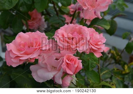 Garden with fantastic flowering pink rose blossoms in a garden.