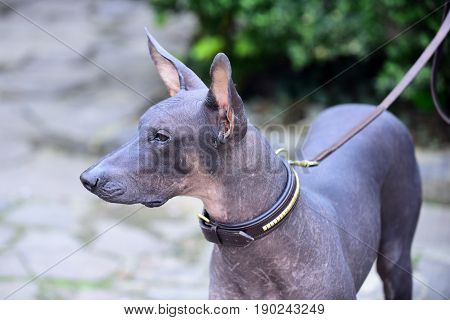 hairless dog. dog of Xoloitzcuintli breed mexican hairless dog grey color outdoor on blurred background