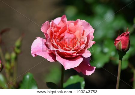 Lush dark pink rose blooming in a rose garden.