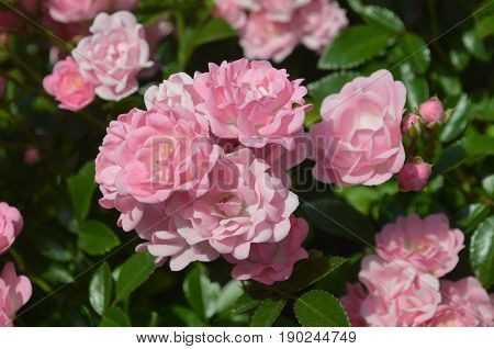 Very pretty pink roses in a rose garden during the summer.