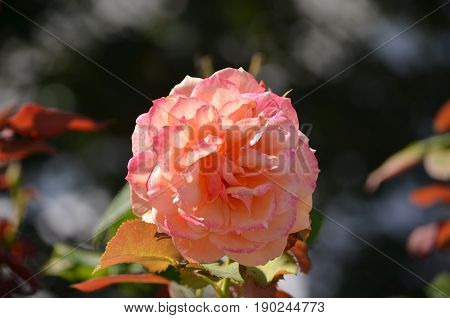 Rose garden with a perfect blooming rose.