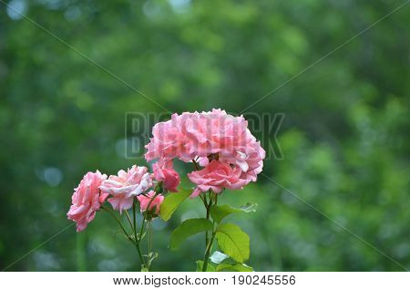 Pretty cluster of pink roses blooming on a rose bush.