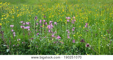 springlike meadow with lychnis and buttercups in allgau