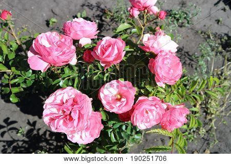 Pink undersized patio rose flowers on a sunny day.