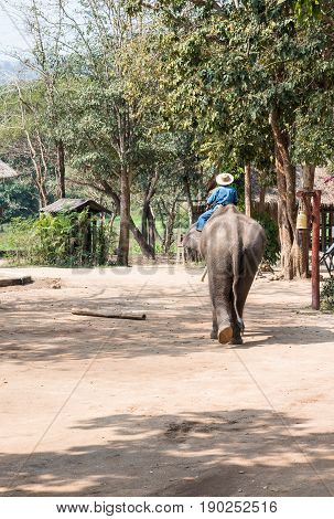 Large elephant with the young mahout is going to the training class in the elephant conservation centerLampang Thailand.