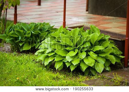 Perennial Herbaceous Young Wet Green Plant Hosta In Spring Rain Garden.