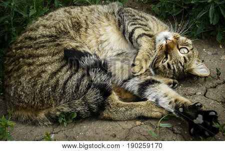 Cat, cat lies on the ground, funny cat, curled up cat, relaxing cat, mating season, handsome cat, half maine coon