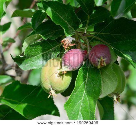 Green Apple Fruits On Tree