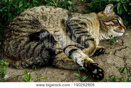 Cat, cat lies on the ground, cute cat, curled up cat, relaxing cat, handsome cat, half maine coon