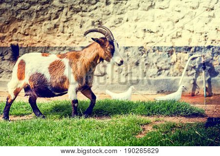 Farm landscape with grazing goat. Agriculture background with animals