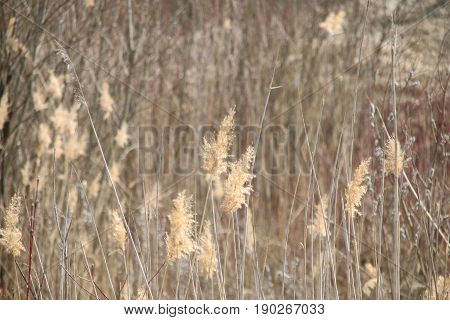 Beautiful natural background, bulrush. Rural landscape with dry reed.
