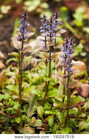 Beautiful Small Cute Blue Flowers Ajuga Reptans (Atropurpurea) On Gentle Blurred Background Of Garden.