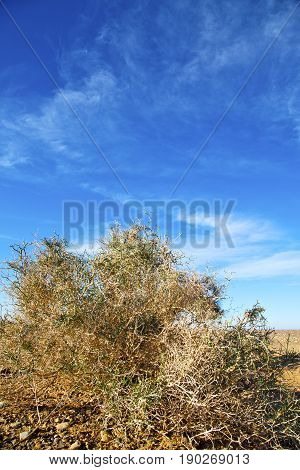 Bush In The  Desert  Africa Dune