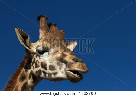 A giraffe head close up in a sunny day poster