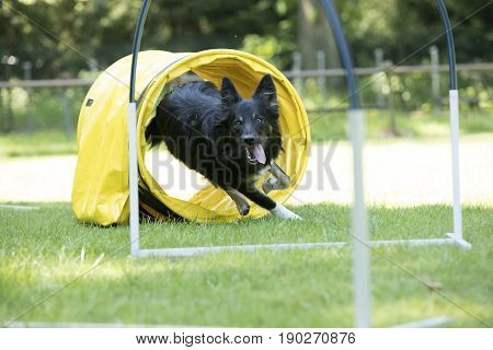 Dog Border Collie running through agility tunnel hooper training