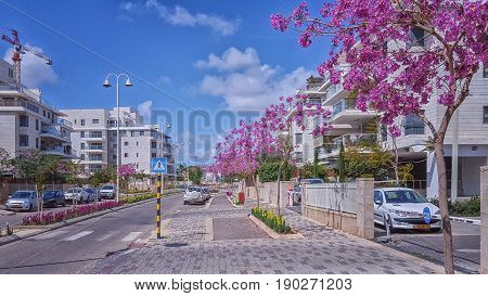 Nes Ziona Israel-March 20 2016: Beautiful view of purple flowering Judas trees grow on sidewalk in Khoshen street. New white gray 4 story residential buildings are located on both sides. Wide road and blue sky. Horizontal shot