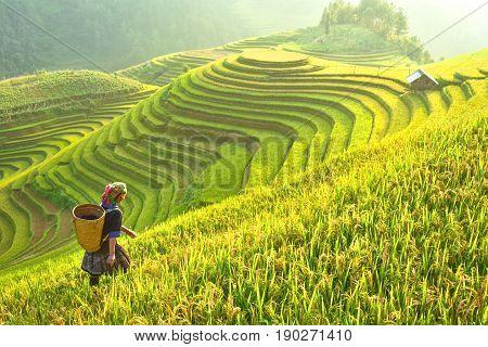 Rice fields on terraced of Mu Cang Chai YenBai Rice fields prepare the harvest at Northwest Vietnam.Vietnam landscapes.