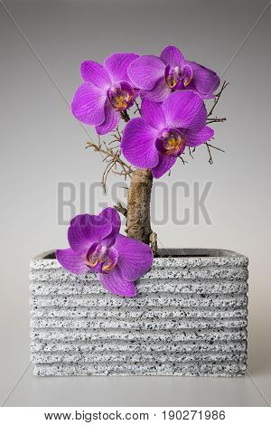 Dry dead bonsai in the flowerpot with purple orchidea flowers