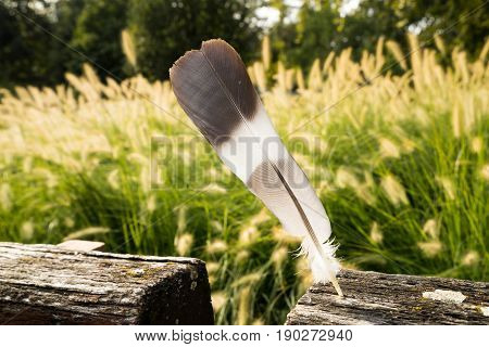 Nice feather in the nature with green grass background