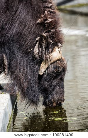 Close up portrait of Musk ox Ovibos Moschatus drinking water.