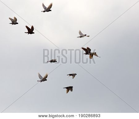 Flock of pigeons against the sky with clouds .