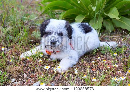 Cute white and black bulgarian sheep dog puppy in the grass closeup