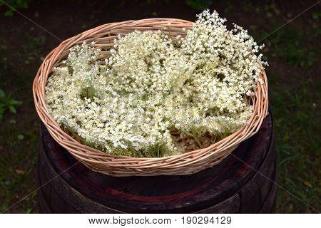 elderflower (Sambucus nigra) in bloom in the garden
