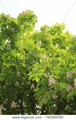 Horse chestnut, acorn, esculus (Aesculus) tree is widely bred in parks