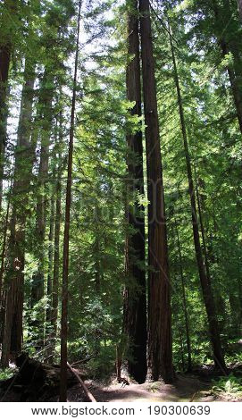 Twin towers of the west coast are two very tall redwood trees at a northern California nature preserve.