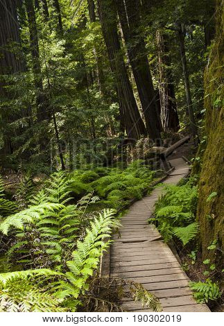 Wooden path directing the way along path in gorgeous redwood grove in northern California.