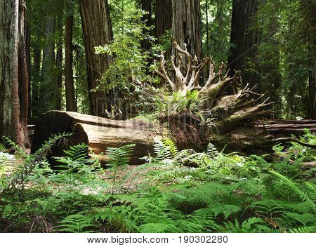 Uprooted very large redwood tree with exposed roots that have become home to numerous fern plants and animals.