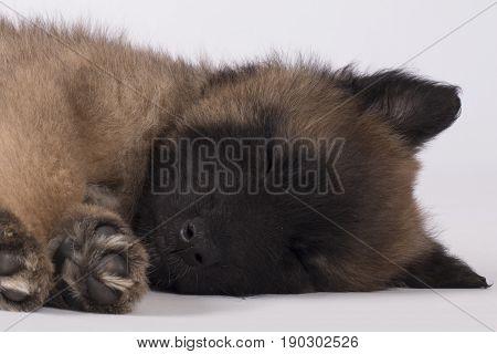 Dog, puppy Belgian Shepherd Tervuren, sleeping, close-up head