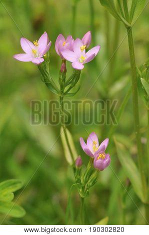 Common Centaury - Centaurium erythraea Pink Grassland Flower