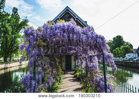 Old house in Strasbourg with colorful purple wisteria covering the arched arbor leading to the front door situated on an island in a canal in Petite France