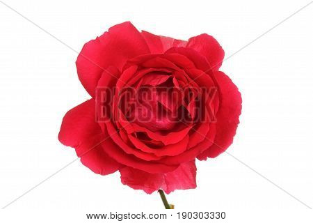 isolated macro red rose on a white background