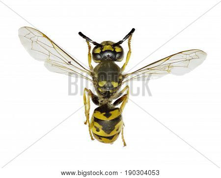 German Wasp on white Background - Vespula germanica (Fabricius 1793)