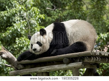 Panda bear omnivorous giant panda characterized by its coloration in black and white