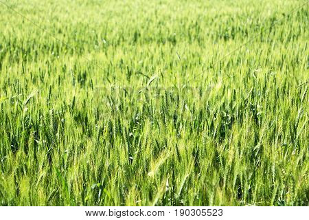 in iran cultivated farm grass and healty green natural wheat