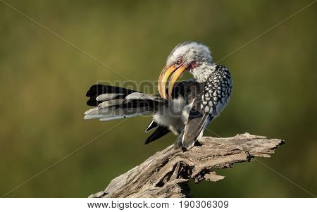 Yellow Billed Hornbill preening in the Okavango Delta of Botswana
