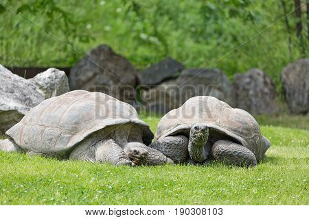Group of wild Galapagos tortoises on green grass.