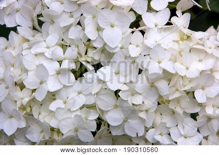 Close up of smooth hydrangea flower (Hydrangea arborescens)