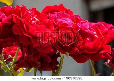A bouquet of red roses photographed close up.