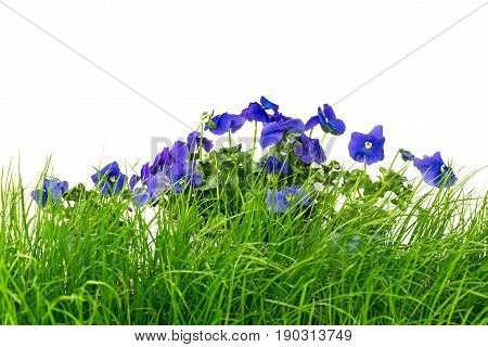 Young green grass and blue pansies against white background.