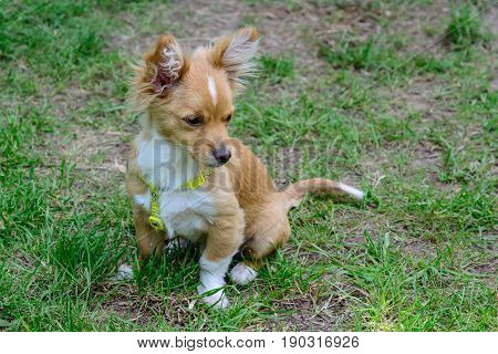 Chihuahua Puppy Is Sitting On The Green Grass.