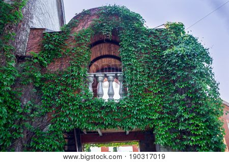 Green leaves of the grapes are woven along the wall of a big house