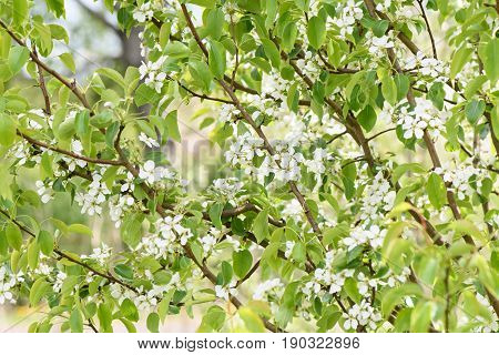 A Pear Tree Blooms Profusely With Flowers Of White Color
