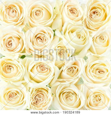 Beautiful cream roses background view from above